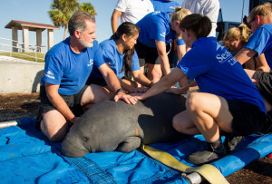 Manatee Dorothy-Gail is Returned to Florida Waters by SeaWorld Orlando