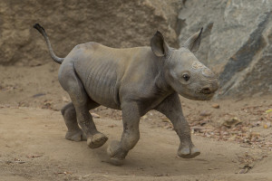 Black Rhino Baby Takes Charge at  San Diego Zoo Safari Park