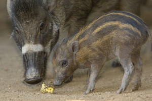 Rare Visayan Warty Pigs Born at San Diego Zoo A four-week-old Visayan warty pig appears to pose for the camera under the watchful eye of its mother at the San Diego Zoo. The piglet, one of two born on June 26, is still nursing from its mother and is just
