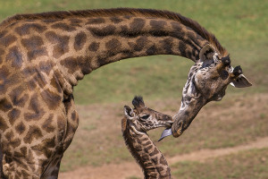 Masai Giraffe Calf Receives Warm, Wet Kiss from Mother at San Diego Zoo Safari Park A 16-day-old male Masai giraffe at the San Diego Zoo Safari Park gets a kiss, in the form of a lick, from his doting mother. The calf, named Gowon (pronounced Go-wan), Ma
