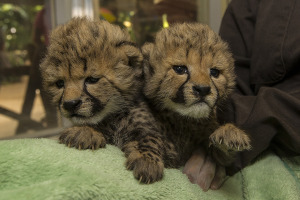 Cheetah Cubs Snuggle Close at San Diego Zoo Safari Park