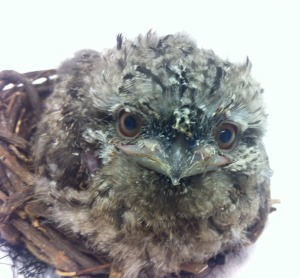 Tawny_Frogmouth_Chick_Hatches_at_SeaWorld_Orlando_