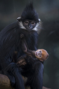 Bright-Orange Francois' langur Born at San Diego Zoo