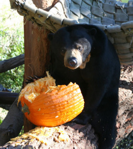 Leftover pumpkins a treat at  Oakland Zoo