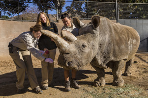 RHINO WITH A RUNNY NOSE: RARE RHINO UNDERGOES VETERINARY EXAM AT SAN DIEGO ZOO SAFARI PARK