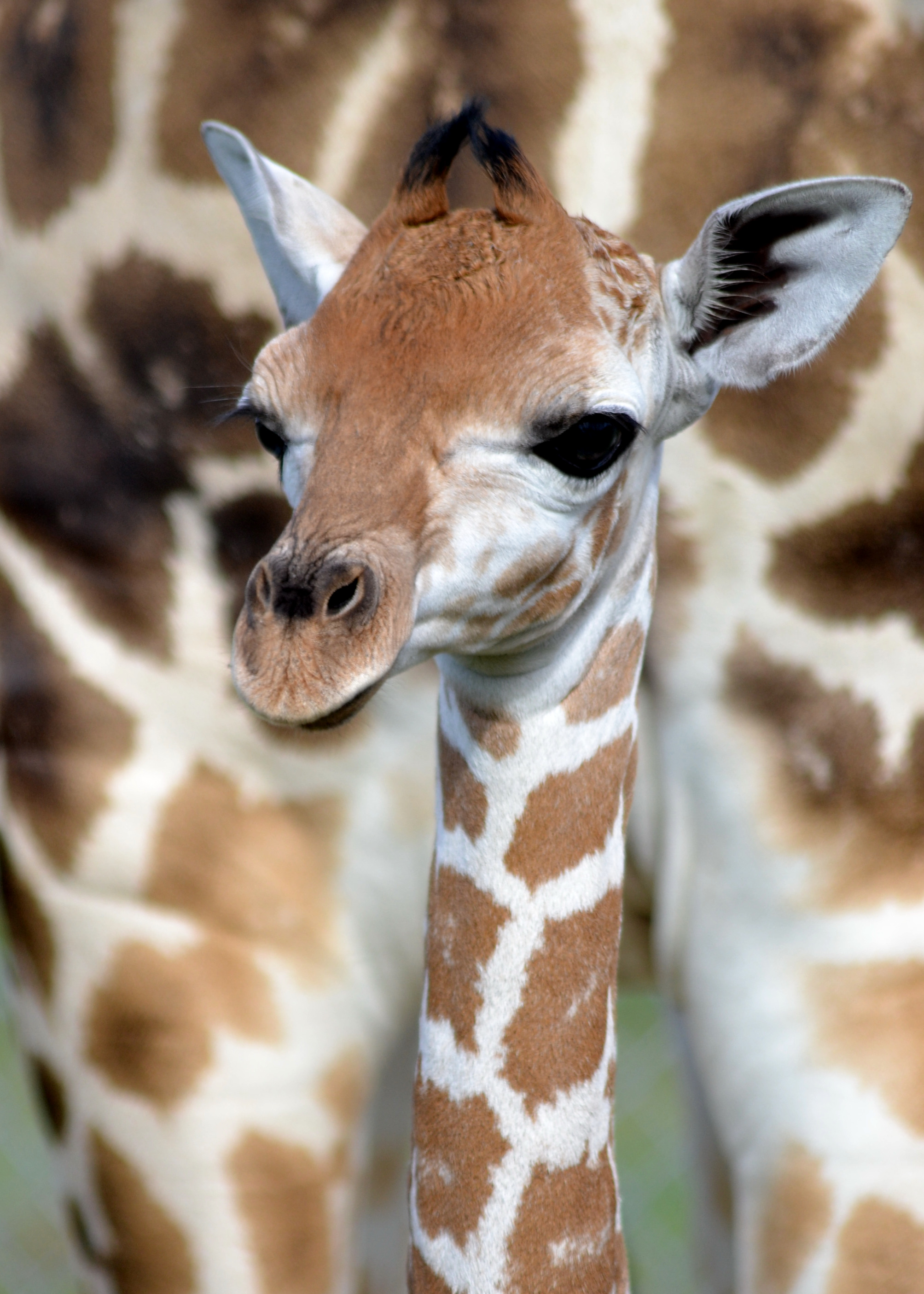 A Baby Giraffe For Lion Country Safari