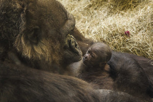 Gorilla_Birth_At_Busch_Gardens_Tampa