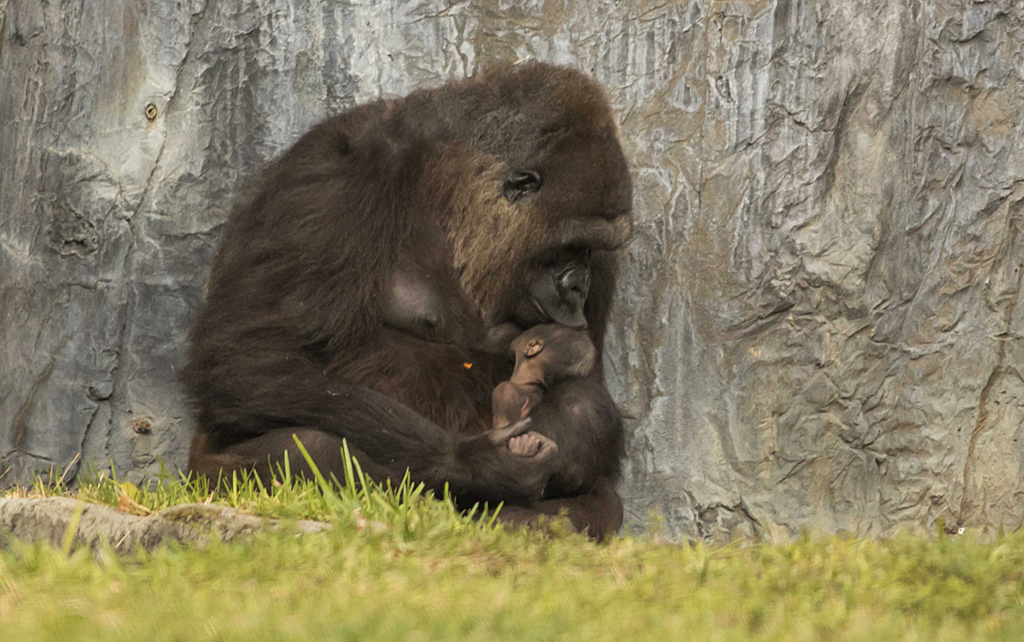 Gorilla_Birth_At_Busch_Gardens_Tampa_2