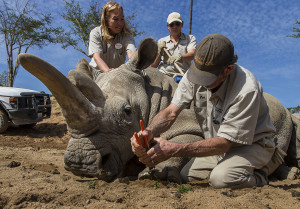 Feeling Better and Getting Her Nails Done: Northern White Rhino at San Diego Zoo Safari Park Gets Pedicure