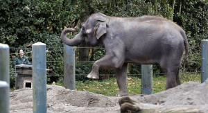 One of two Asian Elephants taken in by the San Diego Zoo this month.