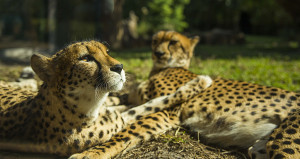 2014_BUSCH_GARDENS_TAMPA_TWO_CHEETAHS_LAYING_01