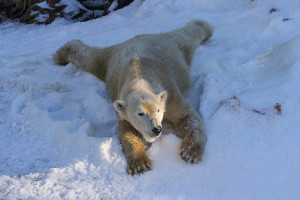 Sledding: No Sleigh Needed! San Diego Zoo Polar Bear Belly Slides During Polar Snow Day